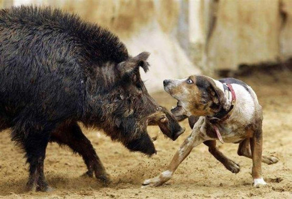 Hog Dog Ambush Xtreme
