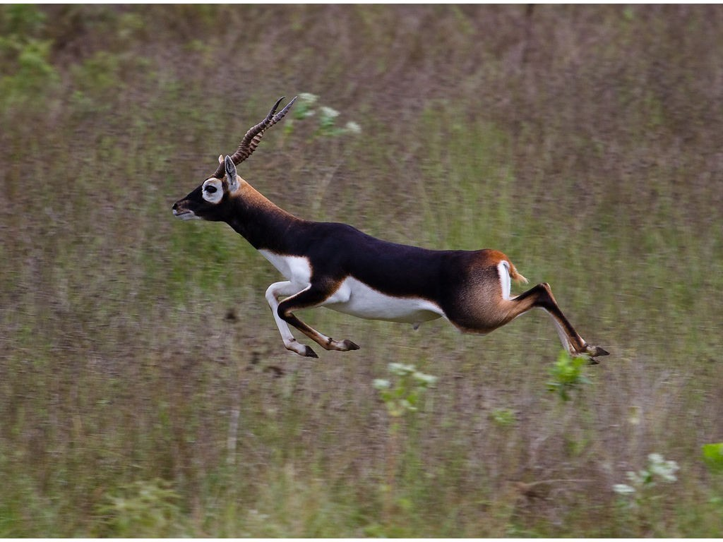 Blackbuck Antelope - Shonto Ranch