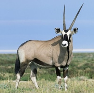 Gemsbok - Cotton Mesa Whitetail