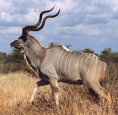 Kudu Bull - Cotton Mesa Whitetail