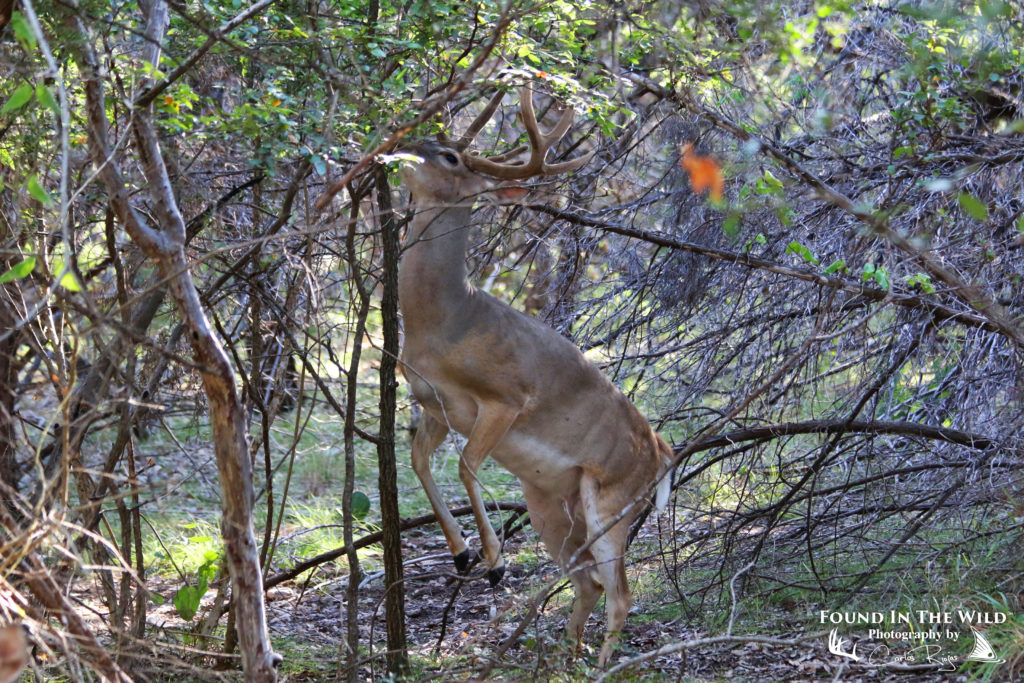 Whitetail Buck Rising