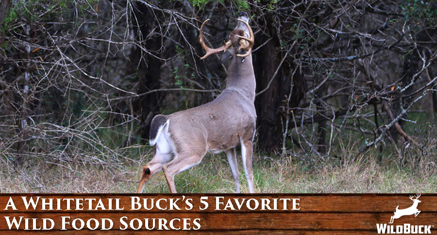A Whitetail Buck's 5 Favorite Wild Food Sources