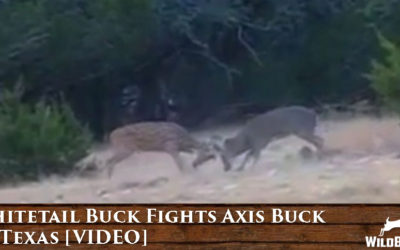 WATCH: Whitetail Buck Fights Axis Buck In Texas! [VIDEO]
