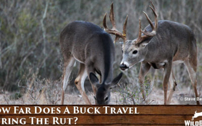 How Far Does A Buck Travel During The Rut?