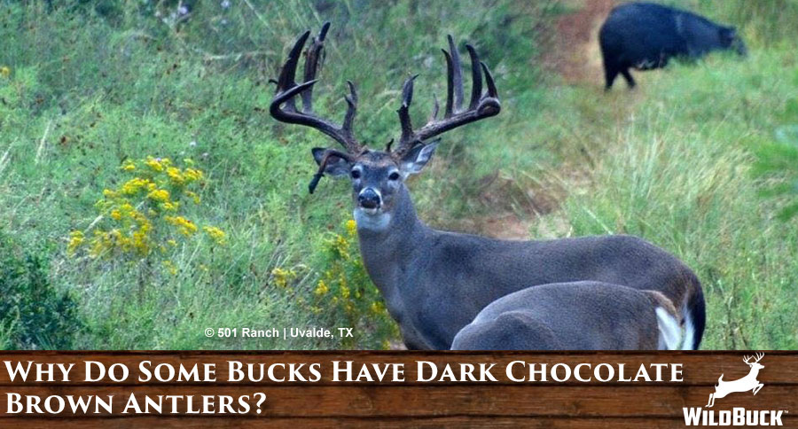Why Do Some Bucks Have Dark Chocolate Brown Antlers?