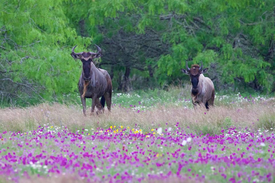 Wildebeests and Wildflowers - Los Encinos Ranch