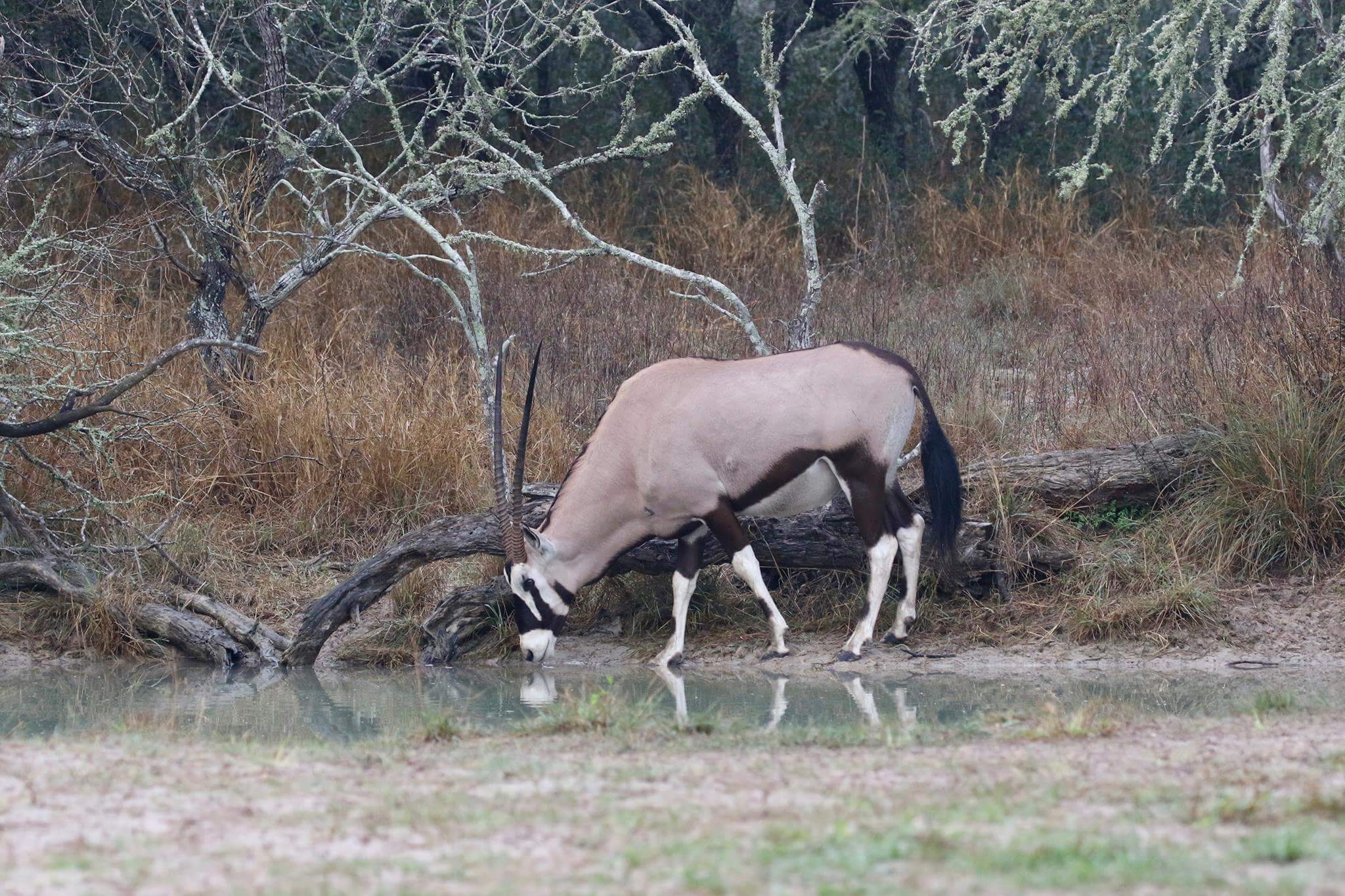 Texas Gemsbok | Paul Johnson | Los Encinos Ranch