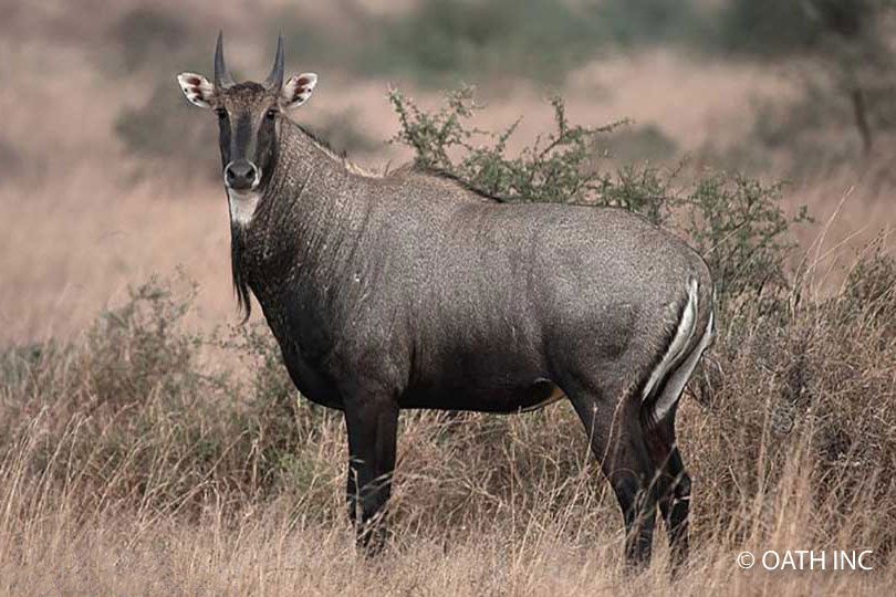 "Nilgai Bull - ""Blue Devil"" - © OATH INC"