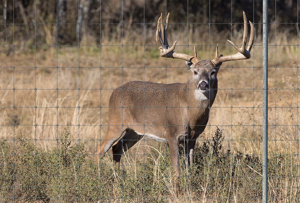 High Fence - © Tejas Ranch & Game Fence