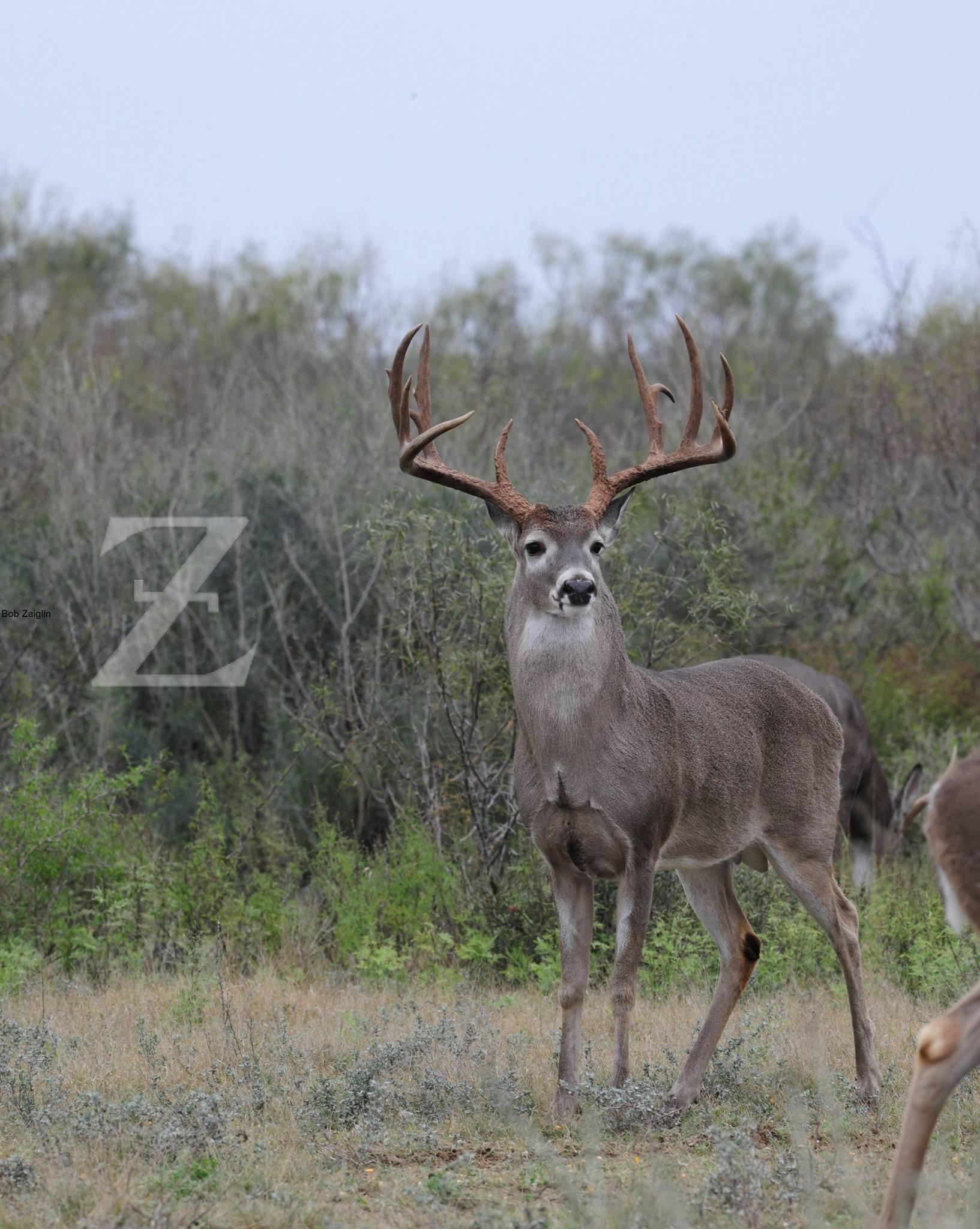 Bob Zaiglin Cover Buck
