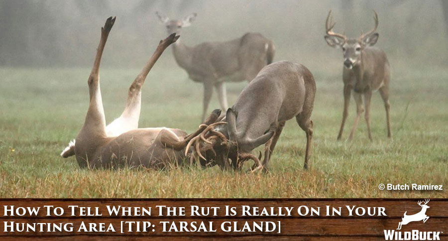 How To Tell When The Rut Is Really On In Your Hunting Area [TIP: TARSAL GLAND]
