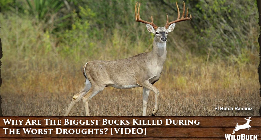 Why Are The Biggest Bucks Killed During The Worst Droughts? [VIDEO]